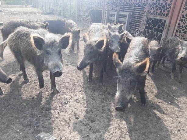 Дикие поросята и свиньи