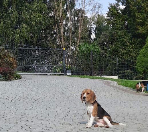 Beagle szczeniaki ZKwP / FCI