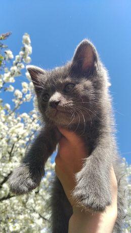 Дуже гарні кошенята Безкоштовно