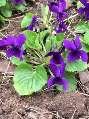 Фиалка ароматная  садовая многолетняя очиток видный