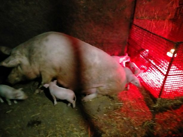 Свиньи  1,5 месячные . Поросята