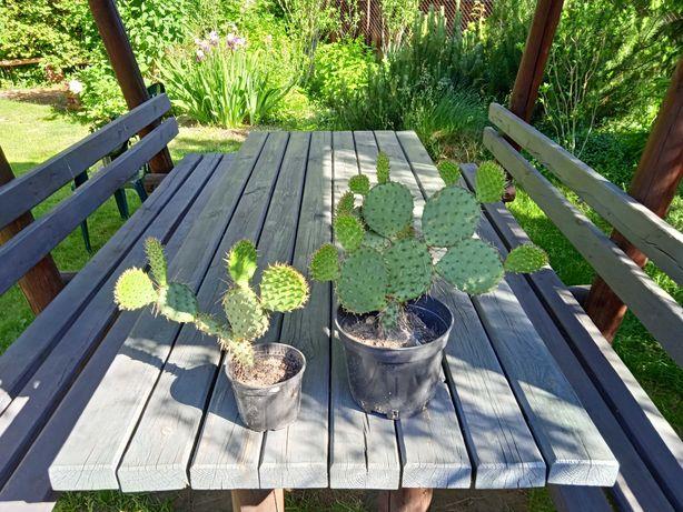 Opuncja Figowa, zimotrwały kaktus ogrodowy