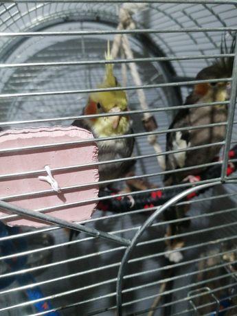 Nimfy papugi nimfa