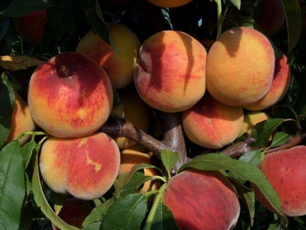 саженцы сливы, гибридов, абрикоса, яблок, груш, айвы. Опт, розница