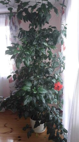 Róża chińska 2,5 m