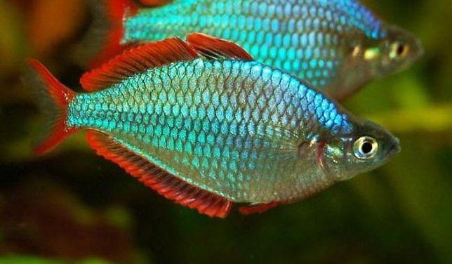 TĘCZANKA NEONOWA - Melanotaenia praecox ryby akwariowe.