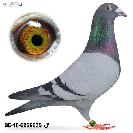 Młode Para 51 Oryg DR Marien x Kessels 41 konk gołab gołębie pocztowe