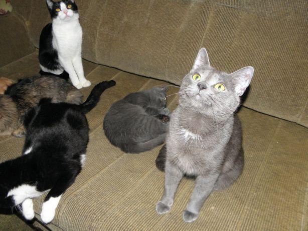 Русские голубые (метисы?) котик, котенок-мальчик и кошечка ищут семьи
