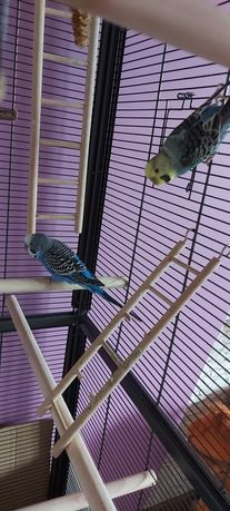 2x papuga falista parka + woliera 150cm.