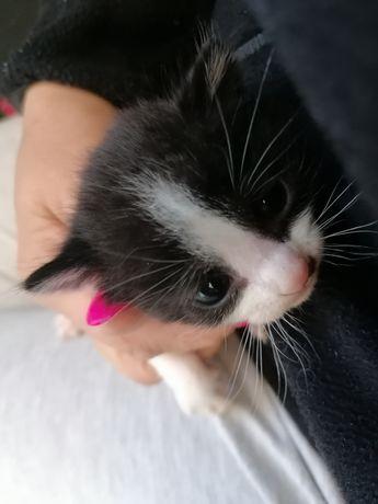 Gatinho para adopção