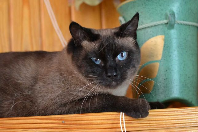 котик муркотик з блакитними очима 3р