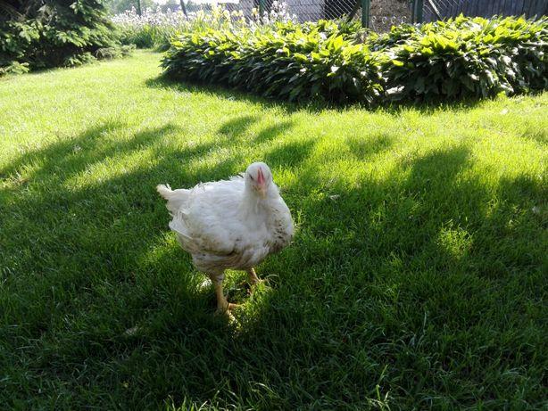 Sprzedam kurczaki brojlery