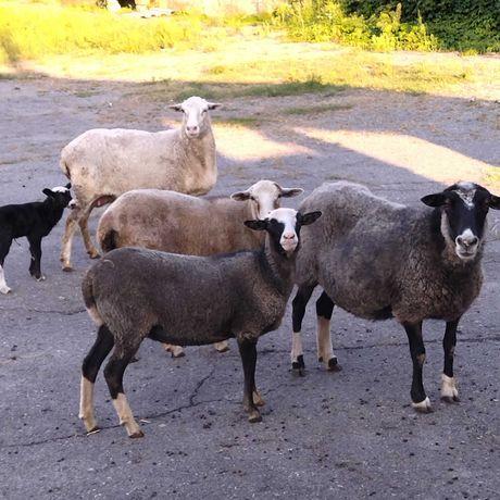 Продам овец и баранов .