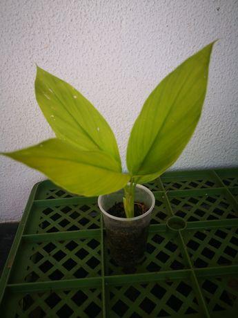 Curcuma  plantas