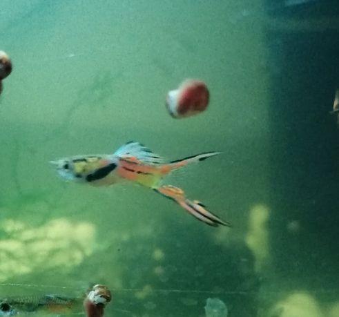 Gupiki. Rybki akwariowe