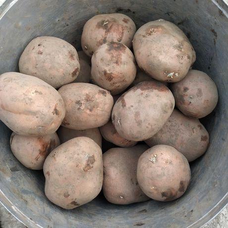 Продам картоплю , сорти: бела роса, слов'янка, невська.
