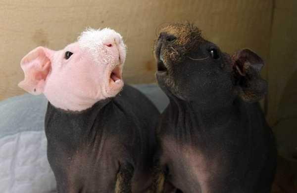 Лысые морские свинки СКИННИ, гипоаллергенные животные