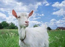 Продам безрогу тільну білу козу