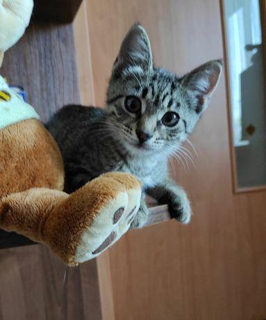 Котенок, мальчик, 2.5 мес, камышевый