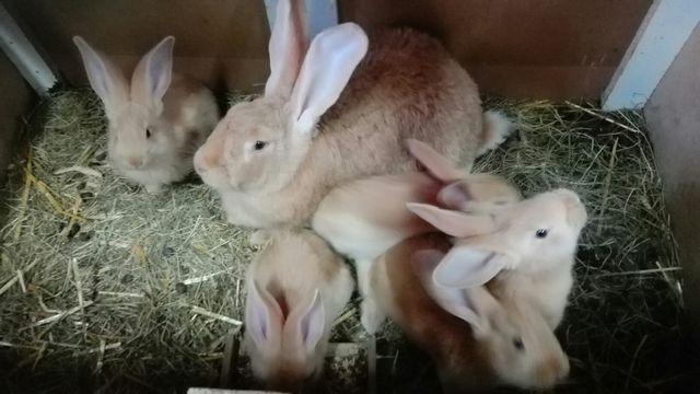 Belgijski Olbrzym Żółty młode króliki