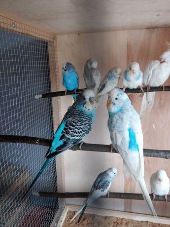 Papugi faliste gotowe do lęgów 20 sztuk