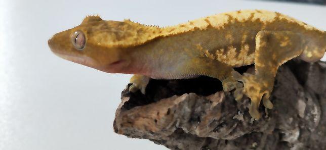 Gekon orzęsiony samiec