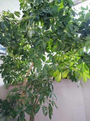 Дерево Шеффлера.