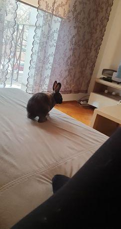 Sprzedam królika Teddy miniaturkę