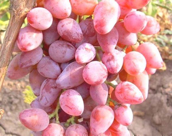 Sadzonki Winogrona 3,5 letnie Deserowe bezpestkowe - 90 cm - I na wino