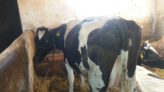 Sprzedam krowę mleczną