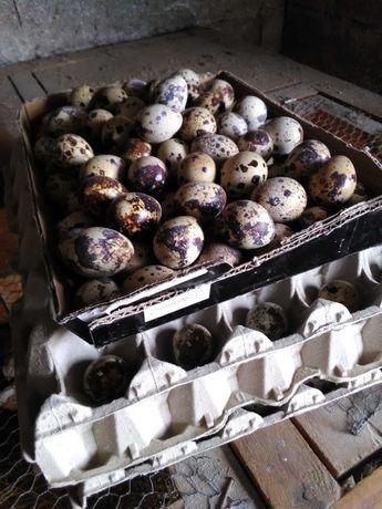 Ovos de codornizes