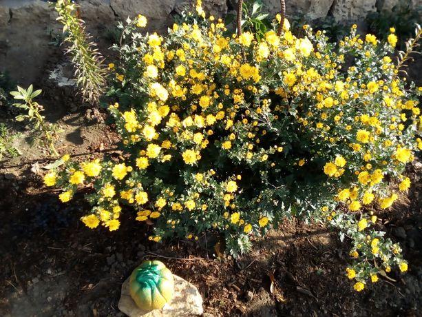 Хризантема веточная