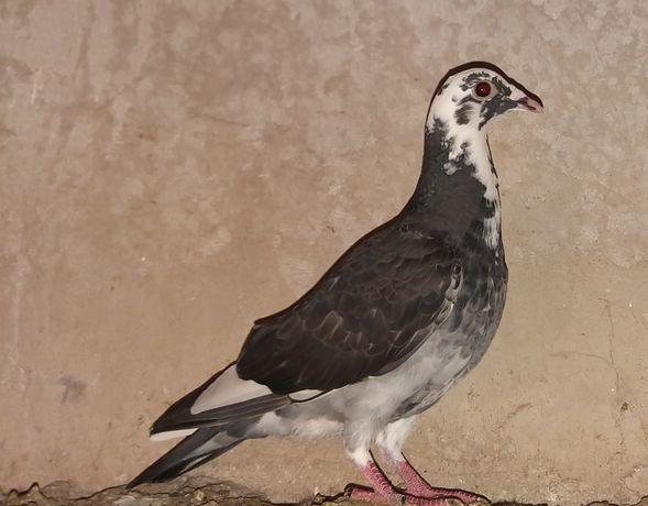 Staropolskie samiec lub para gołębie ozdobne