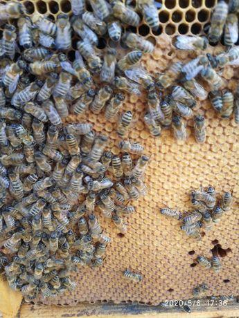 Pszczoły odkład.