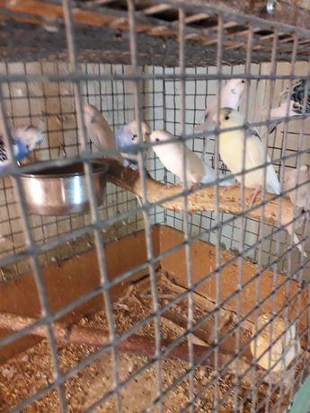 Продам    малышей  волнистых  попугаев