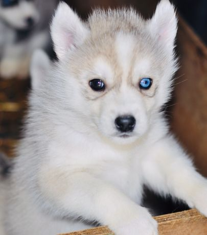 Голубые глаза , арлекин, мозаика