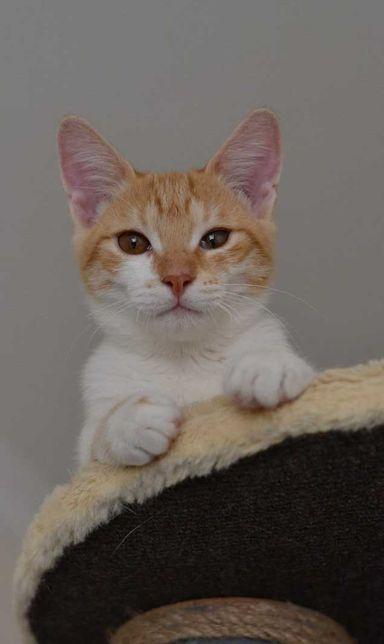 білий котичок з руденько-білою шубкою 5м