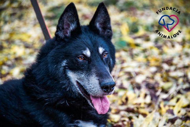 Pies w typie malamuta szuka domu - dla aktywnych