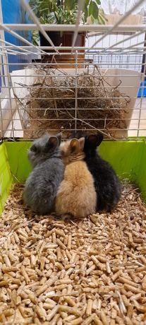 Królik króliki miniaturka teddy