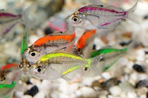 Peixe Vidro colorido