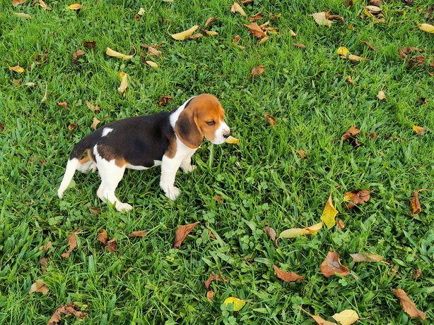 Beagle tricolor de perna baixa para entrega imediata. Mãe com lop