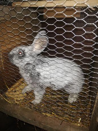 zwierzątka króliki