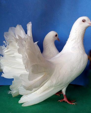 Casal Rabos de Leque - Brancos