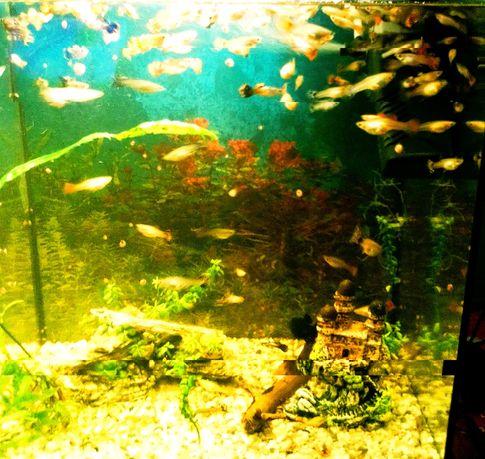 Rybki akwariowe Gupiki