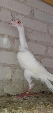 голуби карєри