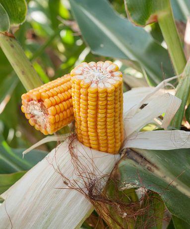 Kukurydza Koneser HR Smolice Fao 260 50 tys nasion