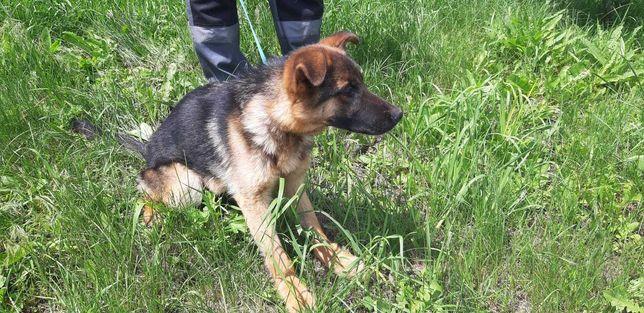 Найдена самка немецкой овчарки на пр.Ландау