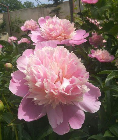 Пион травянистый розовый