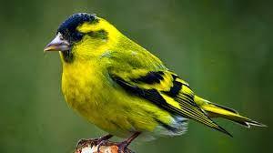 Певчья птица чижик.