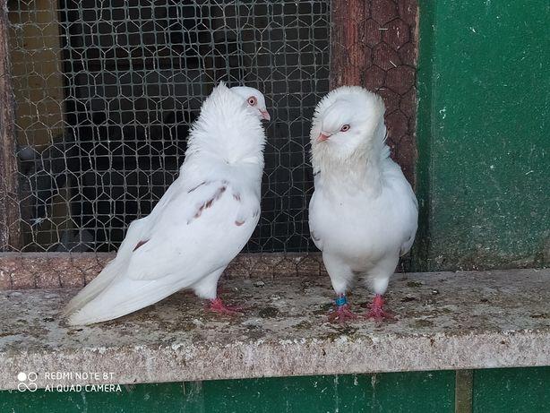 Gołębie ozdobne-Para kapucynów sprzedam